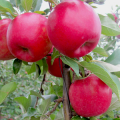 Photo of SnapDragon Apple