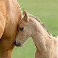 Warmblood Fragile Foal Syndrome Test